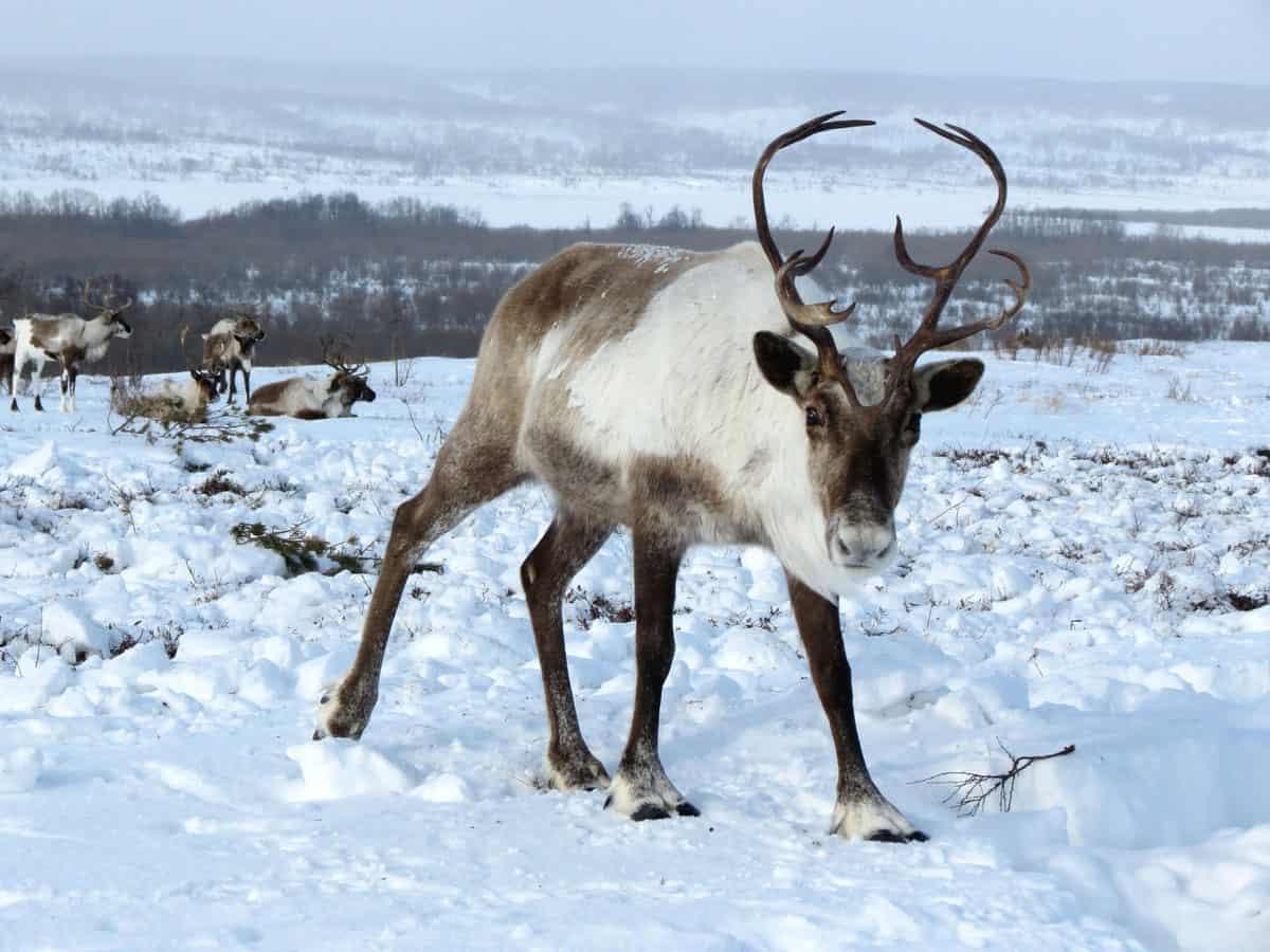 Dove vivono le renne (6)