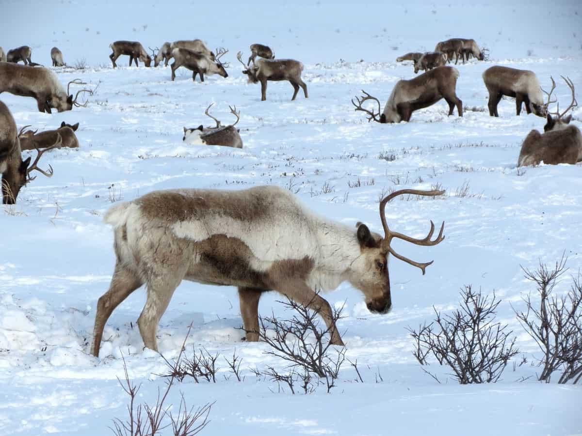 Dove vivono le renne (7)