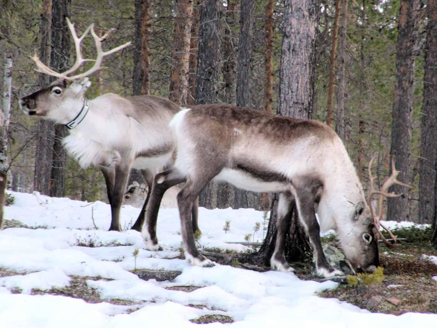 Dove vivono le renne